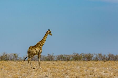 one natural walking male giraffe, savanna with bushes, blue sky Imagens - 129290083