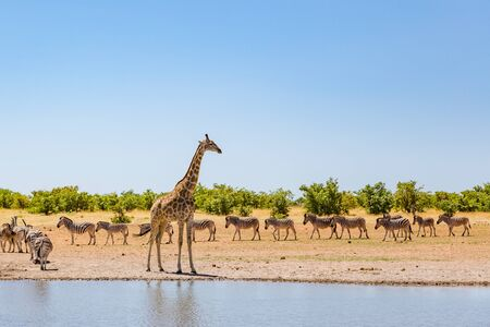 one natural giraffe and group of zebras standing at water in savanna