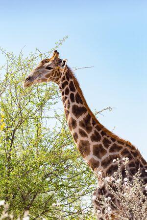 close-up natural giraffe head and neck, tree, blue sky