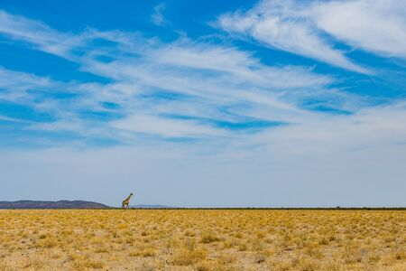 one walking male giraffe, savanna with bushes, cloudy blue sky