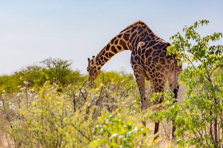 one single giraffe eating white bloom of savanna bush Imagens - 129290096