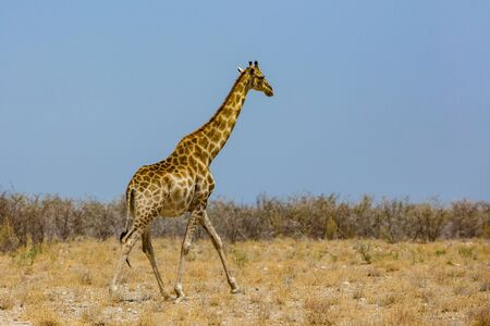 one natural male giraffe in savanna with bushes, blue sky