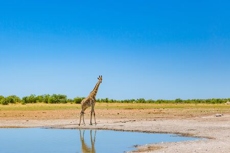 one natural giraffe standing on water in savanna, blue sky