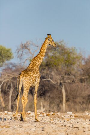 one natural giraffe standing in savanna, blue sky, trees Imagens