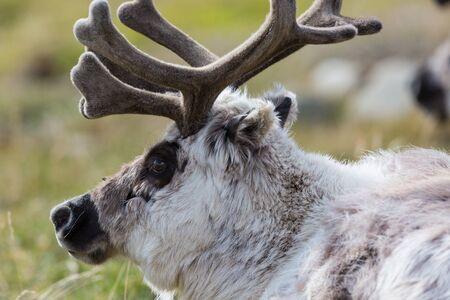 close-up natural Svalbard reindeer (rangifer tarandus platyrhynchus) Imagens