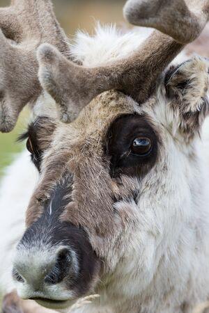 close-up portrait natural Svalbard reindeer face Imagens - 129290650