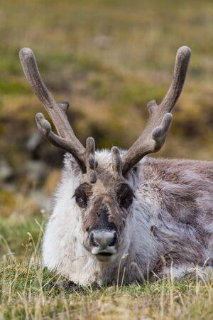 front view lying Svalbard reindeer (rangifer tarandus platyrhynchus) Imagens - 129290646