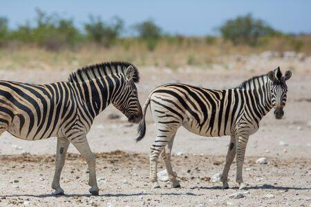 two natural wildlife zebras standing on dry savanna ground