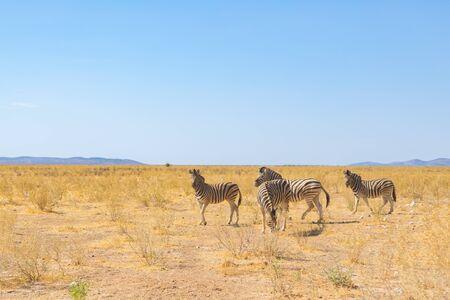 group of four wildlife zebras in natural grassland habitat, blue sky