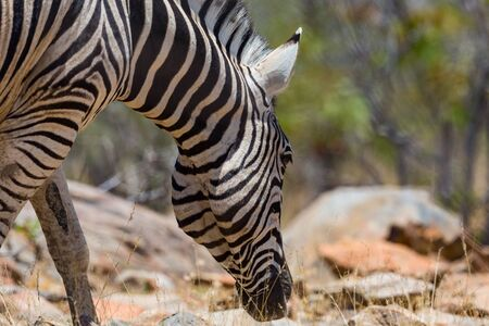 close-up natural zebra head foraging in savanna habitat Imagens - 131232206