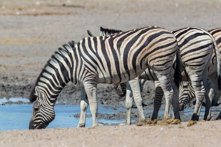 group of natural wildlife zebras drinking water in dry savanna