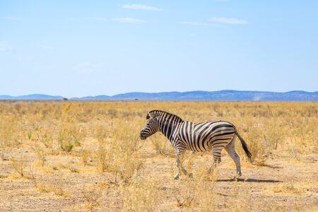 one natural zebra walking through natural grassland savanna, blue sky Imagens