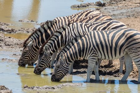 several wildlife zebras drinking water in a row in natural environment