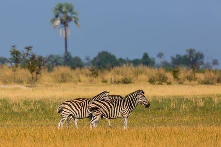 three wildlife zebras standing in natural grassland, Okavango Delta Imagens - 131232220