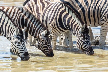 group of wildlife zebras in a row drinking at waterhole Imagens