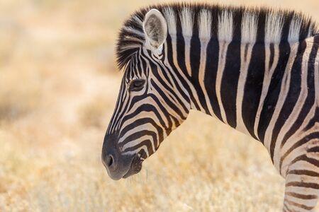 close side view portrait wildlife zebra in natural savanna grassland
