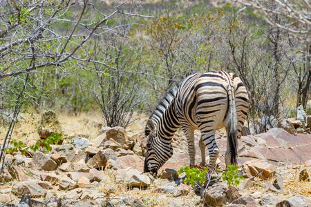 one zebra foraging in natural African savanna habitat in Namibia Imagens