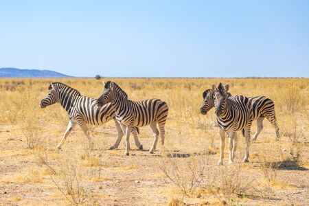 group of four natural zebras in natural grassland savanna, blue sky Imagens - 131232236