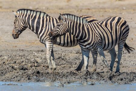 two wildlife zebras standing in mud at water hole Imagens