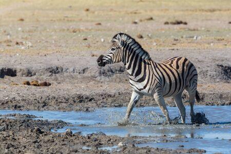 one natural wildlife zebra standing in mud in water in savanna Imagens - 131232240