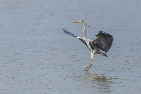 natural gray heron (ardea cinerea) landing on water surface Imagens - 131306936