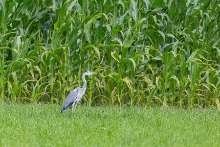 gray heron (ardea cinerea) standing in green meadow in front of cornfield Imagens - 131306719