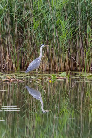 natural gray heron (ardea cinerea) reflected on water surface with reed Imagens