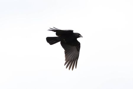 silhouette isolated natural black raven (corvus corone) in flight Imagens