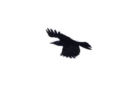 natural isolated flying black carrion crow (corvus corone) Imagens