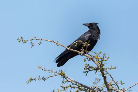 natural black carrion crow (corvus corone) standing on branch Imagens