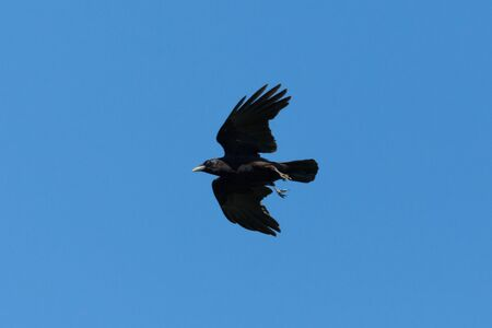 isolated natural black raven (corvus corone) in flight in blue sky Imagens
