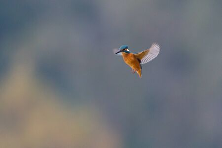 isolated kingfisher (alcedo atthis) in stationary flight with spread wings Imagens