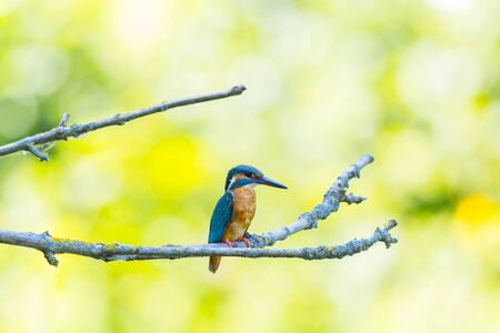 natural female kingfisher (alcedo atthis) sitting on branch in green