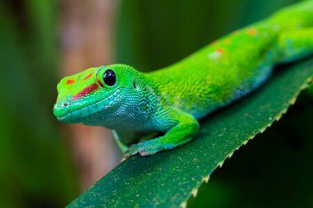 close-up side view natural Madagascar giant day gecko (phelsuma grandis) Imagens - 131488510