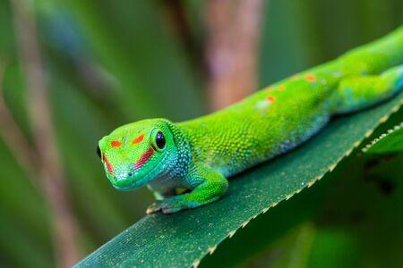 close-up natural Madagascar giant day gecko (phelsuma grandis) on green leaf Imagens - 131487825