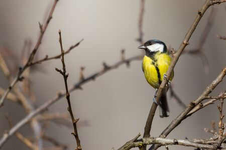 natural great tit bird (parus major) standing on tree twig