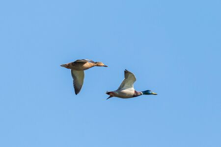 isolated mallard ducks couple (anas platyrhynchos) flying in blue sky Imagens