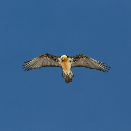 bearded vulture (gypaetus barbatus) in flight in blue sky with spread wings