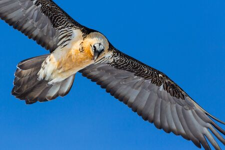 close-up bearded vulture (gypaetus barbatus) in flight in blue sky