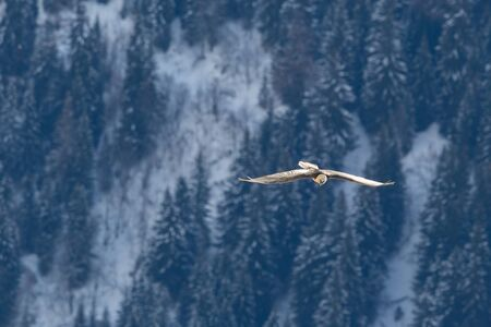 natural bearded vulture (gypaetus barbatus) flying over forest in winter