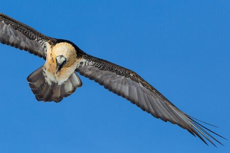 close-up bearded vulture (gypaetus barbatus) flying in blue sky with spread wing