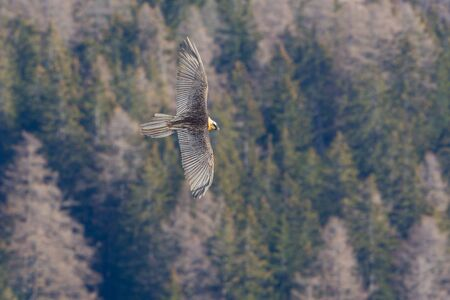natural bearded vulture (gypaetus barbatus) in flight over forest