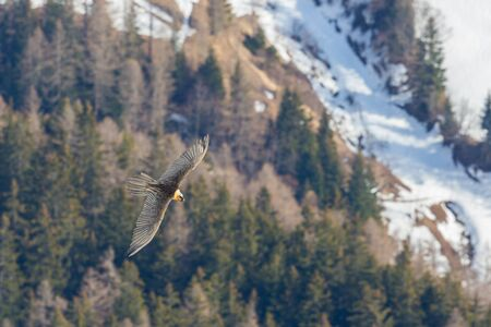 one bearded vulture (gypaetus barbatus) in flight over forest in winter
