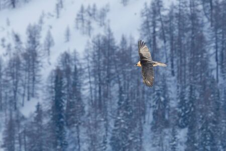 flying natural bearded vulture (gypaetus barbatus) with winter forest