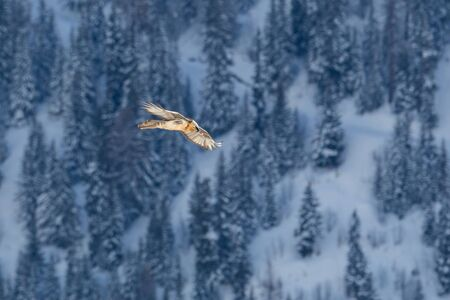 one adult bearded vulture (gypaetus barbatus) flying over forest in winter Imagens