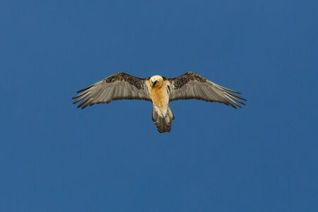 adult bearded vulture (gypaetus barbatus) flying in blue sky with spread wings