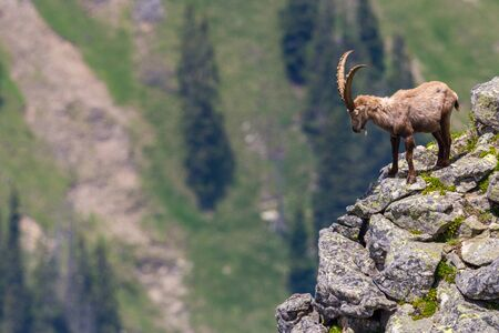 male natural alpine ibex capricorn standing at scarp