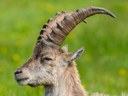 close-up side view portrait natural alpine ibex capricorn with green meadow