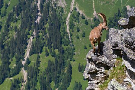 natural male alpine capra ibex capricorn balancing on rock at abyss