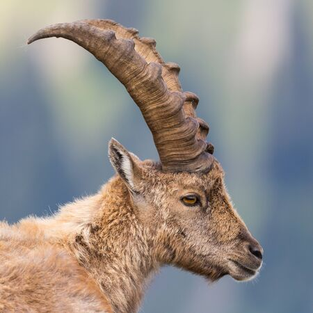 side view close-up of natural horned capricorn ibex